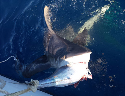 Get up close and personal with sharks during summertime for Fishing jupiter fl